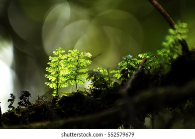 Close up of green moss at Mossy Forest, Cameron Highland Malaysia. Moss are backlit from sunlight. Selective focusing on the moss and shallow depth of field.