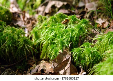 Close up of the green moss Sphagnum palustre (Syn. Sphagnum cymbifolium), the prairie sphagnum or blunt-leaved bogmoss. Poland, Europe
