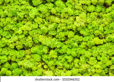 Close up green moss texture, background, nature plant, moss wall