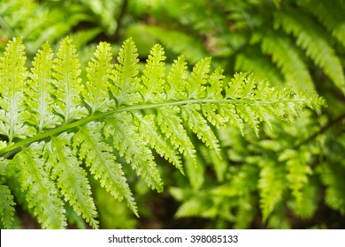 Close up of green New Zealand fern frond in native bush.