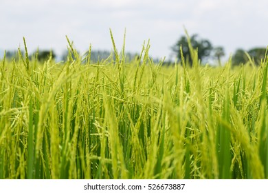 Close up of green paddy rice. Green ear of rice in paddy rice field under sunrise, Blur Paddy rice field in the evening background