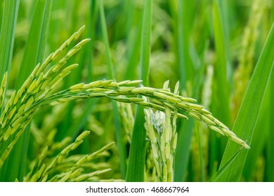 Close up of green paddy rice plant.