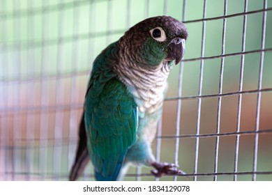 Close up Green parrot in a cage in the zoo with Copyscape