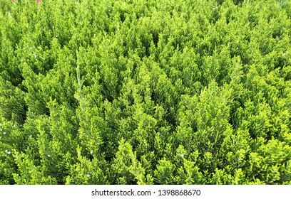 Close up Green Pine leaves background