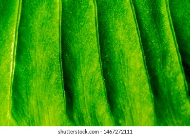 Close up of a green plant leaf with deep dark ridges