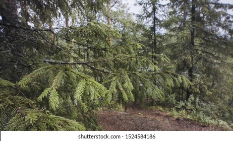 Close up of the green prickly branches of the fir tree swaying from side to side after being touched by someone. Stock footage. Beautiful coniferous forest with the path on the background.