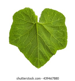 Close up green pumpkin leaf isolated on white with path