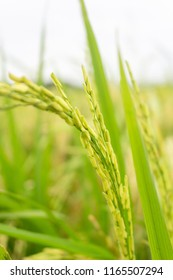 Close up green rice paddy on rice plant
