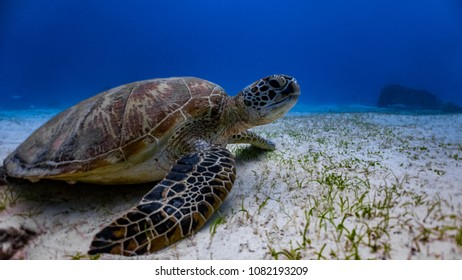 Close up with green sea turtle (chelonia mydas) resting in the sandy sea floor