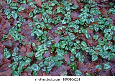 Close up of the green and silver leaves of Lamium galeobdolon, commonly known as yellow archangel, artillery plant, or aluminium plant. Poland, Europe