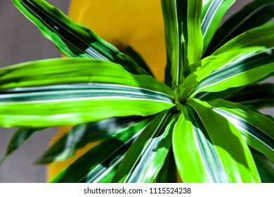 Close up of green striped dracaena.