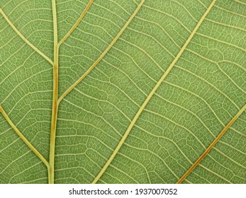 close up green teak leaf texture