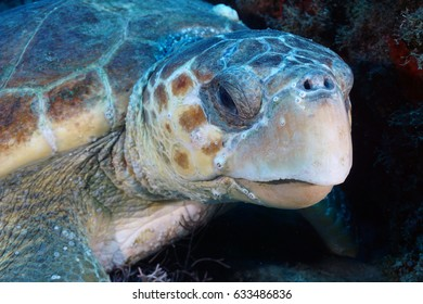 Close up Green Turtle