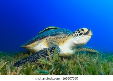 Close up of green turtle on sea-grass looking up with blue water behind