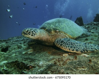 Close up of a green turtle resting on ship wreck, Hilo, HI, USA