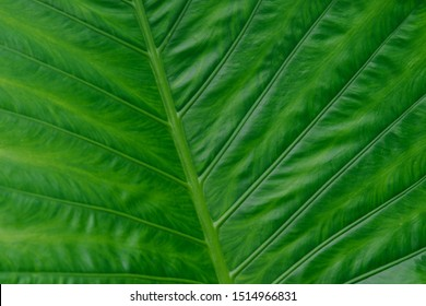 Close up of green veined alocasia leaf showing deep lines and ribbed pattern