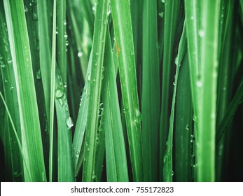 Close up of green vetiver grass