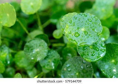 Close up of green Water Pennywort (Dollarweed) with drops of water.