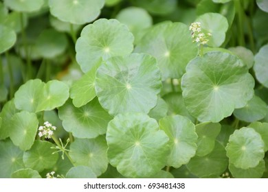 close up Green Water Pennywort (Hydrocotyle umbellata L.) natural morning sunlight