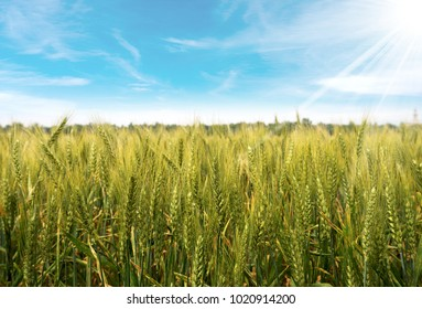 Close up of a green wheat field with a blue sky with clouds and sun rays