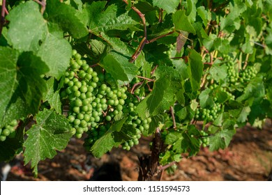 A close up of green wine grapes growing on lush green vines, sun highlighting the fruit, shadows on the soil below, lush leaves on the vines.