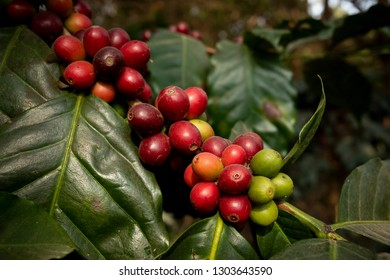 close up green yellow and red of organic coffee seed on tree branch