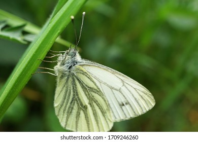 Close up of a green-veined white