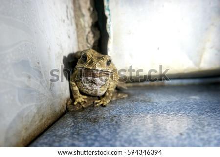 Close Greenyellow Poison Toad Poisonous Amphibian Stock Photo (Edit