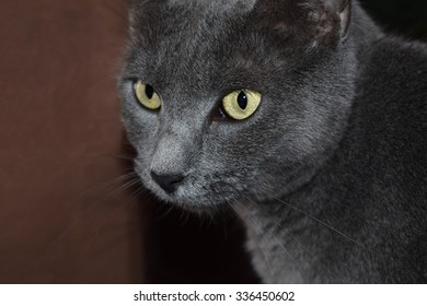 Close Up of Grey Cat with Yellow Eyes