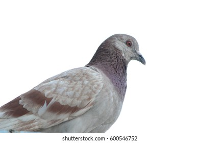Close up Grey dove, pigeon isolated on white background