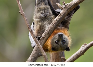 Close Up of a Grey Headed Flying Fox