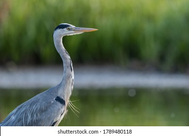 Close up of a grey heron (Ardea cinerea) in its natural environment with a out of focus background.
