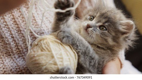 Close up of grey pussycat playing with a ball of white thread in the woman's hands. Small funny cat.