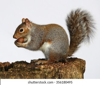 Close up of a Grey Squirrel enjoying a chestnut on a tree trunk with plain background