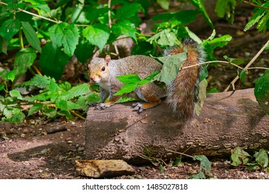 Close up of a Grey Squirrel standing on a fallen tree branch looking towards the camera
