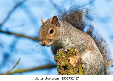 Close up of Grey Squirrel in  a tree