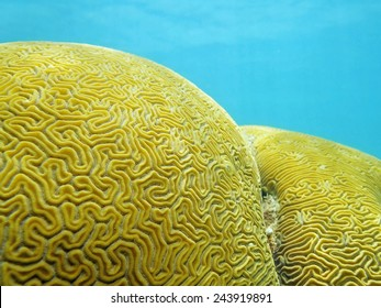 Close up of Grooved brain coral that looks like a labyrinth