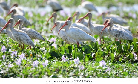 Close up of a group of American White Ibis (Eudocimus albus)  feeding in a marsh