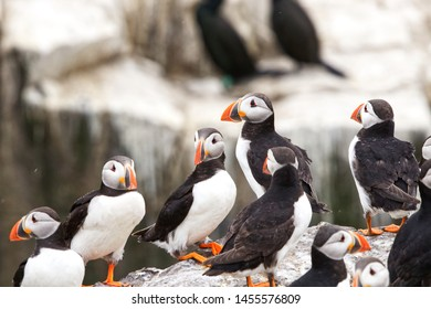 Close up of a group of Atlantic Puffins