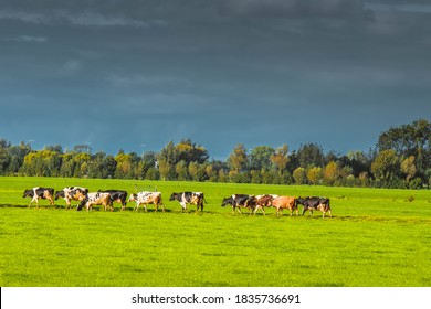 Close Up Of A Group Of Cows At Abcoude The Netherlands 12-10-2020