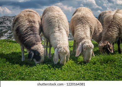 Close up with group of feeding sheeps