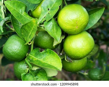 Close up group green lime on trunk with blurred. Lemon is rich in flavonoids. Helps to reduce inflammation. And to control blood pressure. Help inhibit the spread of germs.