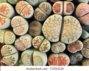 close up group of Lithops. Lithops is a genus of succulent plants in the ice plant family Lithops are popular novelty house plants and many specialist succulent growers maintain collections.
