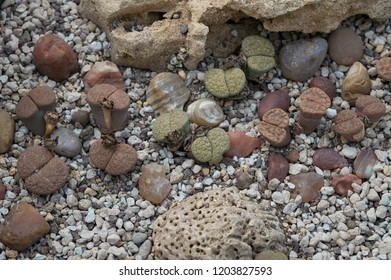 Close up of group of lithops plants, exotic succulent also known as living stones native to desert regions of south America