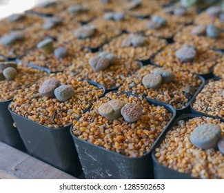 close up group of Lithops for sale.