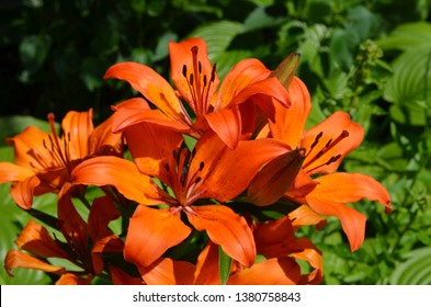 Close up of a group of orange lily flowers in full bloom in soft focus in a garden in a sunny spring day, Lilium bulbiferum