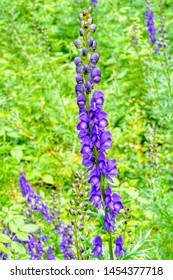 Close up of a group of poisonous Wolfsbane wildflowers, also called Monkshood, set against woodland undergrowth.