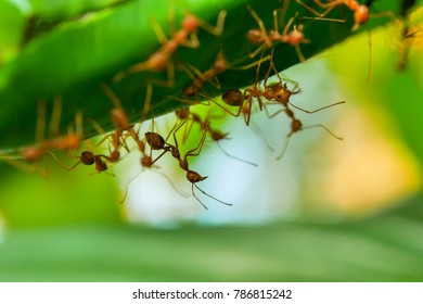 Close up group of red fire ants on green leaves in nature forest.
