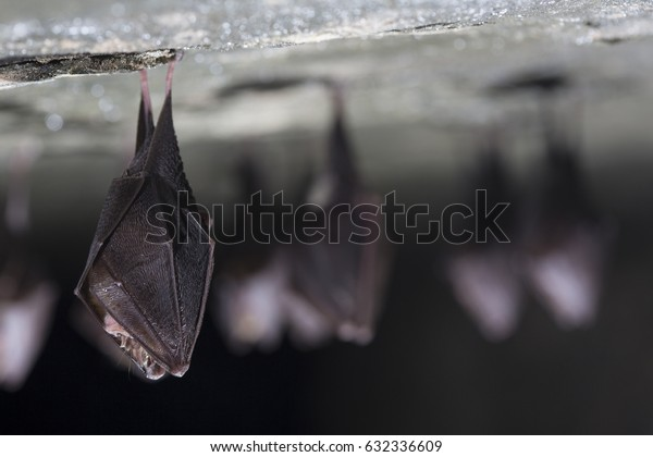 Close up group of small sleeping horseshoe bat covered by wings, hanging upside down on top of cold natural rock cave while hibernating. Wildlife photography. Creatively illuminated blurry background.
