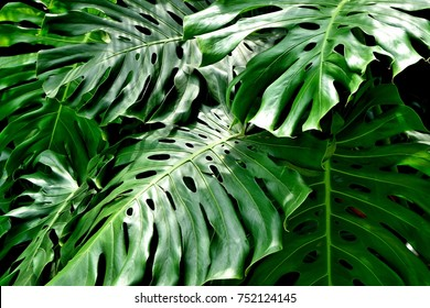Close up of group of split leaf tropical philodendron leaves with strong textures, color and detail as natural background